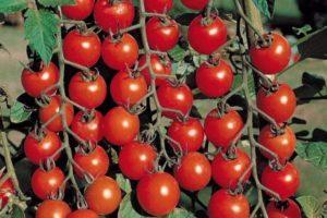 Описание томата Мальвина и характеристика его вкусовых качеств