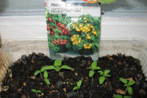 Описание томата Микрон НК и выращивание в домашних условиях