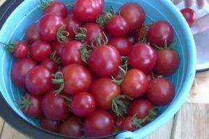 Описание томата Моравское чудо и особенности выращивания сорта