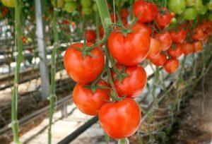 Описание томата Моя радость и рекомендации по выращиванию гибрида