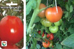 Краткое описание томата Мулен Руж и советы по выращиванию в теплице