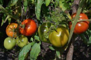 Описание и культивирование томата сорта Орлец F1
