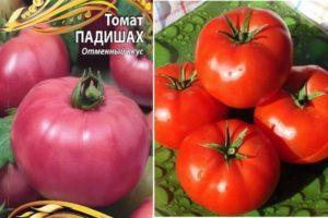 Характеристика и описание томата Падишах и другие эксклюзивные сорта