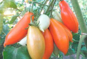 Описание томата Пальмира и характеристика высокоурожайного сорта