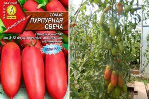 Описание томата Пурпурная Свеча и выращивание сорта рассадным способом