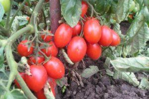 Описание томата Работяга и агротехника выращивания сорта