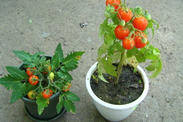 Горшки с томатами