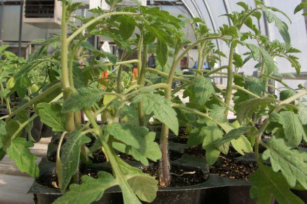 Ростки помидора