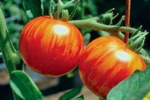 Характеристика томата Рябчик, особенности выращивания и отзывы садоводов