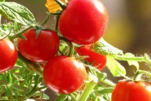 Описание томата Садовая жемчужина и агротехника выращивания сорта