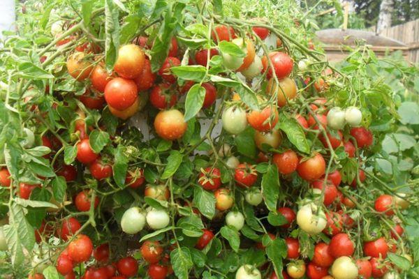 Маленькие томаты