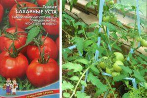 Свойства и характеристика томата Сахарные уста, рекомендации по выращиванию растения