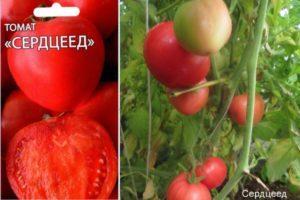 Описание томата Сердцеед и правила выращивания рассадным способом