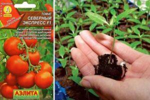 Описание раннеспелого томата Северный экспресс F1 и выращивание гибрида