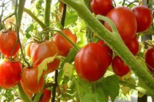 Технические данные томата Шарада и правила выращивания своими руками