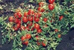 Описание раннеспелого сорта томата Щедрость, выращивание и уход