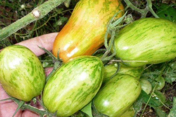 Перцевидные томата
