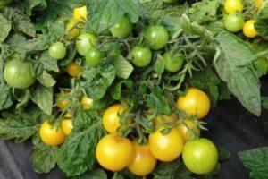 Краткое описание томата Синичка и выращивание в домашних условиях