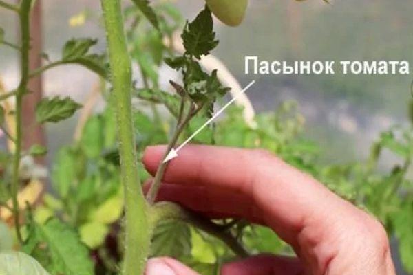 Пасынок томата