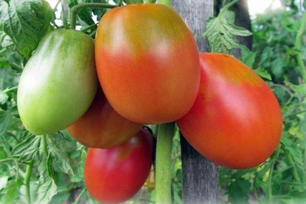 Длинноплодные томаты