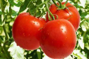 Описание селекционного томата Солярис и выращивание помидоров рассадным способом