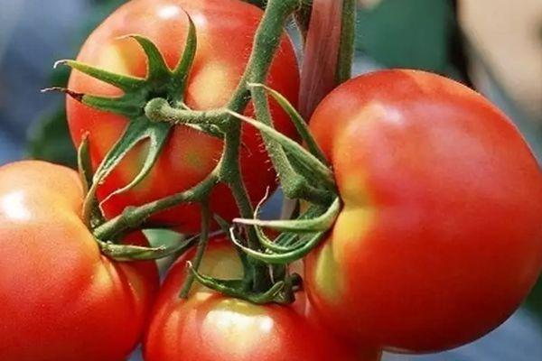 исть томата