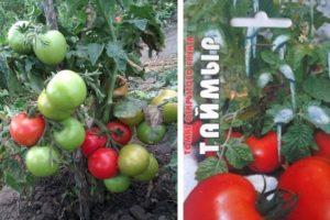 Описание морозостойкого томата Таймыр, выращивание сорта и уход