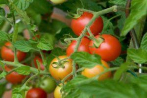 Описание томата Талалихин 186, технические данные и правила выращивания растения