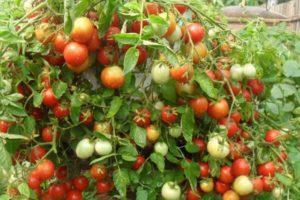 Описание сорта томата Талисман и требования агротехники