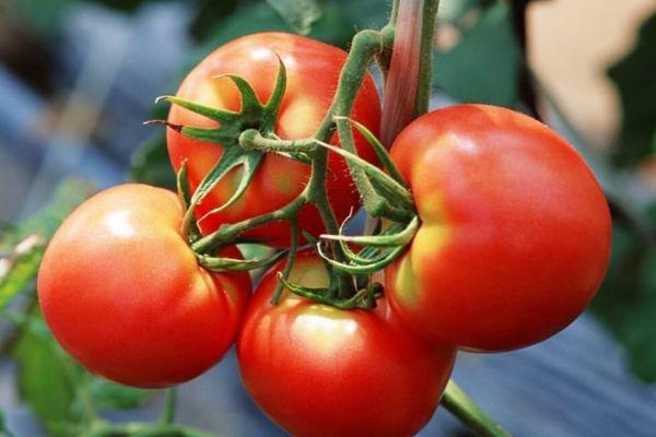 Кисть помидора