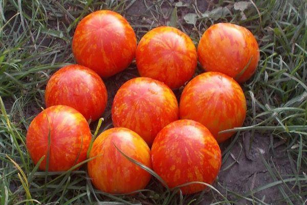 Тигровые помидоры