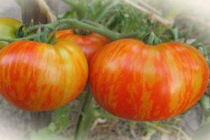 Характеристика томата Толстый боцман и выращивание из семян в открытом грунте