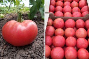 Описание томата Цетус розовый и характеристики селекционного сорта