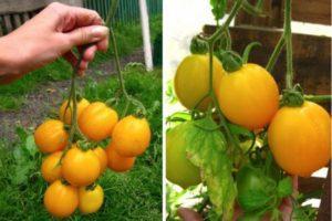 Описание томата кистевого плодоношения Цитрусовый сад и уход за растением