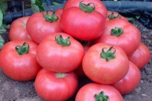 Характеристика розовоплодных томатов Турмалин и общее описание сорта