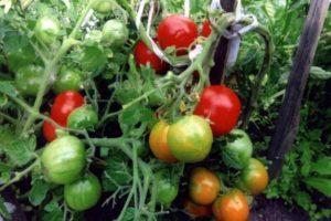 Общая характеристика томата Туз и описание плодов детерминантного сорта