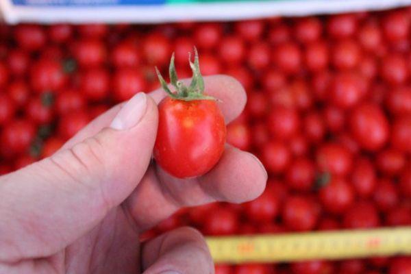 Мелки томаты