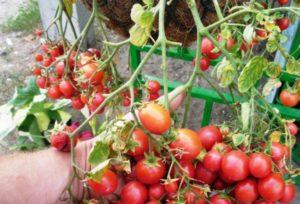 Описание раннеспелого сорта томата Водопад и особенности выращивания