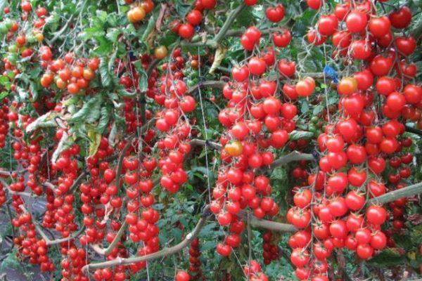 Урожай томата