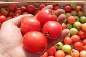 Характеристика универсального сорта томатов Яблоки на снегу и описание плодов