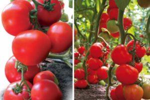 Описание гибридного томата Ядвига и правила выращивания растения