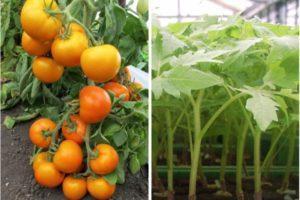 Описание томата Золото востока, преимущества и техника выращивания сорта