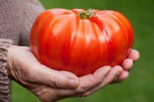 Описание крупноплодного томата Гигант Новикова и агротехника выращивания