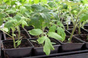 Пикировка рассады томатов по методике Ганичкиной