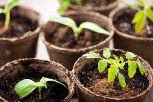 Как правильно сажать и выращивать рассаду помидор в торфяных горшочках?