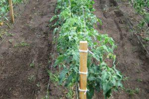 Как правильно сделать шпалеры для помидоров своими руками?