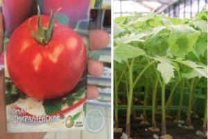 Характеристика сорта томата Адмиралтейский и выращивание на участке рассадным способом