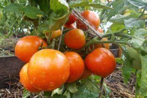 Характеристика томата Амурский штамб, выращивание сорта и урожайность