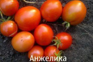Описание томата Анжелика и пошаговые советы по выращиванию сорта