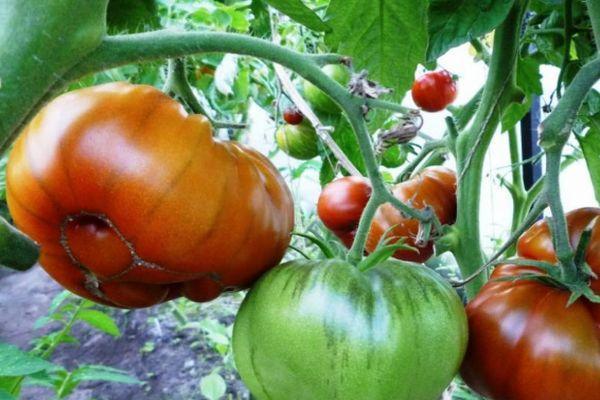 Арбузные помидоры